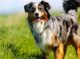 les-5-races-de-chien-les-plus-intelligentes